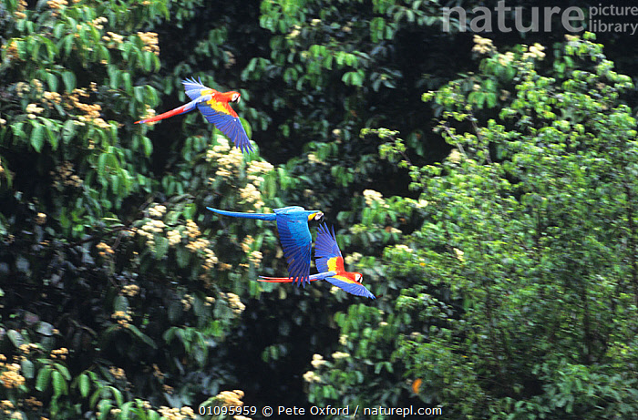 Mixed flock of Blue and yellow macaws (Ara ararauna) and Green winged macaw (Ara chloroptera) flying. South America, BIRDS,FLYING,MACAWS,MIXED SPECIES,PARROTS,SOUTH AMERICA,THREE,TROPICAL RAINFOREST,VERTEBRATES, Pete Oxford