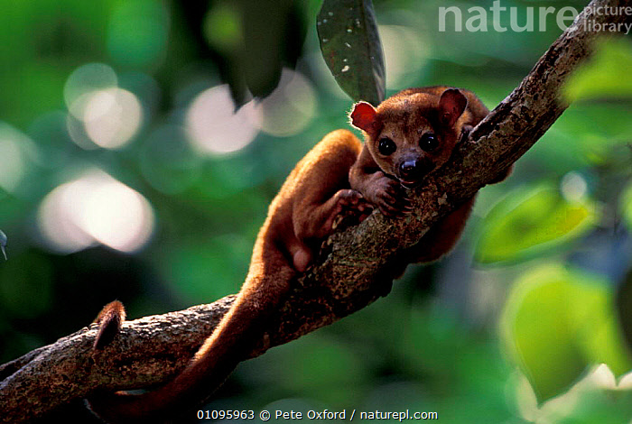 Kinkajou peering at camera {Potos flavus} tropical rainforest, C + S America, MAMMALS,HORIZONTAL,CAPTIVE,CARNIVORES,TROPICAL RAINFOREST,SOUTH,AMERICA,SOUTH AMERICA,RACCOONS, Pete Oxford