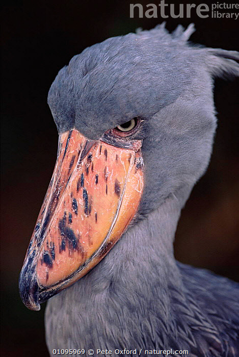 Whale headed stork / Shoebill head portrait  {Balaeniceps rex} Occurs Central Africa, AFRICA,BEAK,BEAKS,BIRD,BIRDS,CAPTIVE,CENTRAL AFRICA,PO,PORTRAITS,VERTICAL,WADERS, Pete Oxford