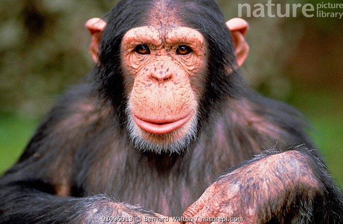 Young male Chimp portrait -  facial expression {Pan troglodytes}, CAPTIVE,COMMUNICATION,EXPRESSION,FACES,FACIAL,HORIZONTAL,MALE,MALES,MAMMALS,PORTRAIT,PORTRAITS,PRIMATES,GREAT APES, Bernard Walton