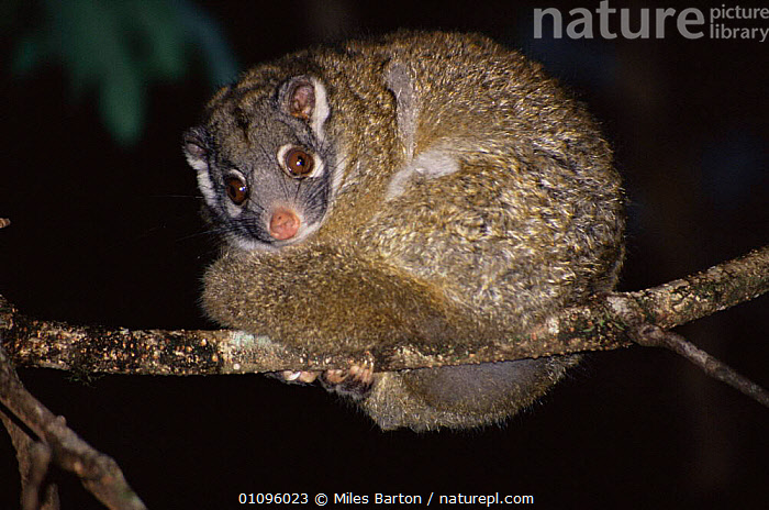 Green ringtailed possum {Pseudocheirus archeri} Queensland Australia, AUSTRALIA,CUTE,GREEN,MAMMALS,MARSUPIALS,NIGHT,POSSUMS,VERTEBRATES, Miles Barton