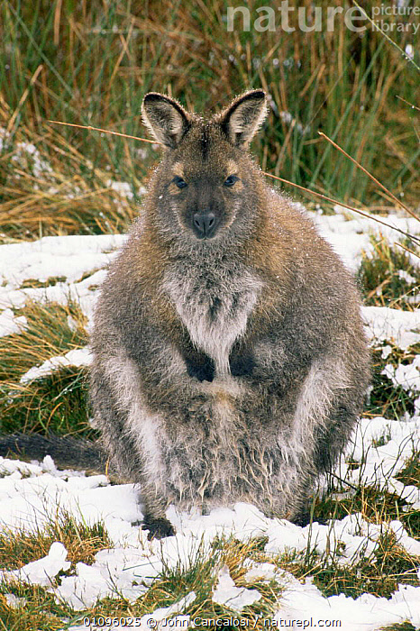 Nature Picture Library Bennett S Red Necked Wallaby Macropus Rufogriseus In Snow Tasmania Australia John Cancalosi