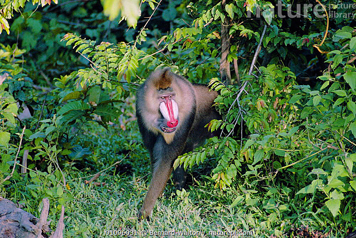 Mandrill large male in forest {Mandrillus sphinx} Gabon, Central Africa, AFRICA,BW,CAPTIVE,FOREST,GABON,HORIZONTAL,MALES,MAMMALS,PRIMATES,TROPICAL RAINFOREST,WEST,CENTRAL AFRICA,BABOONS, Bernard Walton