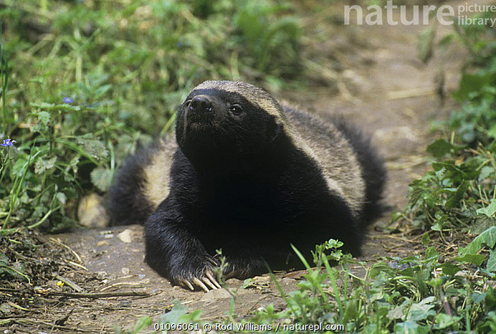 Ratel / Honey badger {Mellivora capensis} male, captive, from Africa and Asia, BADGERS,CARNIVORES,CLAWS,HONEY BADGERS,MALES,MAMMALS,MUSTELIDS,VERTEBRATES, Rod Williams