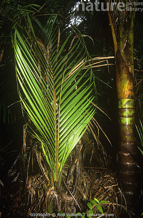 Palm fronds of young Nikau palm {Rhopalostylis sapida} beside trunk of a mature plant, from New Zealand, ARECACEAE,GROWTH,LEAVES,MONOCOTYLEDONS,NEW ZEALAND,PALMS,PLANTS,SIZE,TREES,VERTICAL,Concepts,AUSTRALASIA, Rod Williams