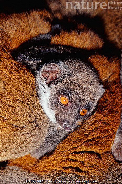 Mongoose lemur young {Eulemur mongoz} vulnerable species occurs Madagascar and Comoro islands, BABIES,CAPTIVE,CUTE,ENDANGERED,FUR,MADAGASCAR,MAMMALS,PRIMATES,PROTECTED,RWI,SAFE,VERTICAL,VULNERABLE,YOUNG, Rod Williams