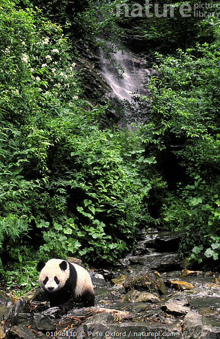 Giant panda in natural habitat {Ailuropoda melanoleuca}  Sichuan Province, China, ASIA,CAPTIVE,CHINA,ENDANGERED,FOREST,HABITAT,LANDSCAPES,PO,PROVINCE,RIVERS,STREAMS,THREATENED,VERTICAL,WATERFALL,WATERFALLS,WOODLANDS, Pete Oxford
