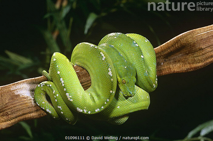 Green tree python coiled around branch {Chondopython viridis} captive, BRANCHES,COILED,CONSTRICTORS,GREEN,PYTHONS,REPTILES,SNAKES,VERTEBRATES, David Welling