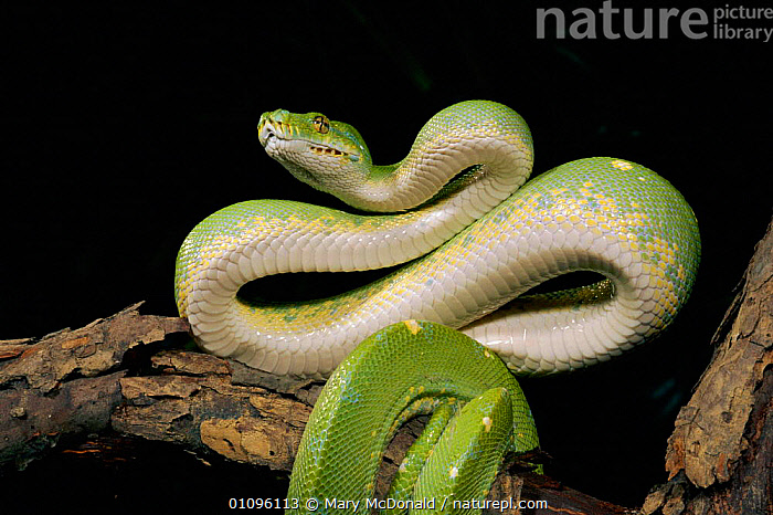 Green tree python coiled ready to strike in defensive position {Chondopython viridis}, CAPTIVE,COILS,DEFENSIVE,HORIZONTAL,REPTILES,SNAKES,BEHAVIOUR, Mary McDonald