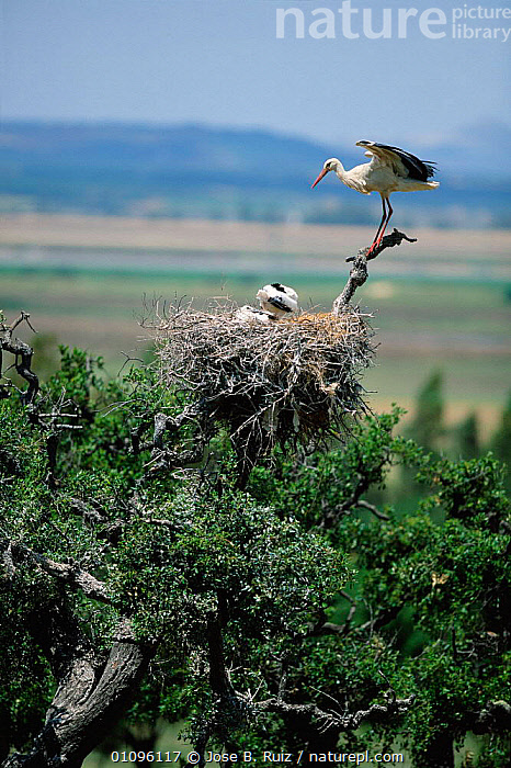 White stork at nest with chicks {Ciconia ciconia} in tree Spain, BABIES,BIRDS,CHICKS,EUROPE,JRU,NESTS,SPAIN,VERTICAL,WADING, Jose B. Ruiz