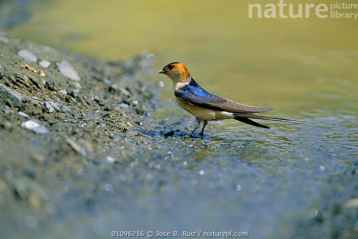 Red rumped swallow collecting mud {Cecropis daurica} Spain, BIRDS,EUROPE,HIRUNDO,HORIZONTAL,JRU,PASSERINES,RIVERS,SPAIN,WETLANDS, Jose B. Ruiz