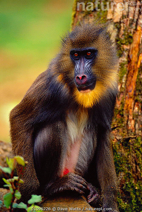 Mandrill portrait {Papio sphinx} - occurrs W Africa, AFRICA,CAPTIVE,DWA,MAMMALS,ONE,PORTRAITS,PRIMATES,SPHINX,VERTICAL,VULNERABLE,WEST AFRICA,BABOONS, Dave Watts