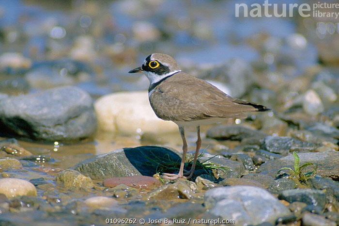 Little ringed plover {Charadrius dubius} Spain, BIRD,BIRDS,COASTS,EUROPE,HORIZONTAL,ONE,SPAIN,WADERS,WETLANDS, Jose B. Ruiz