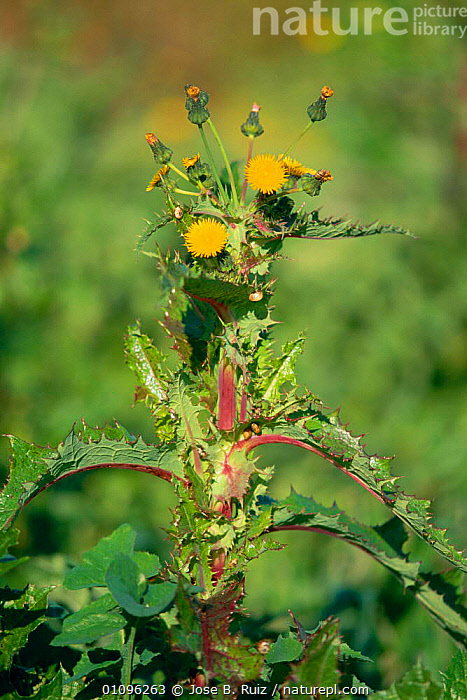 Prickly sow thistle in flower {Sonchus tenerrimus} Spain, EUROPE,FLOWERS,JRU,PLANTS,SPAIN,VERTICAL, Jose B. Ruiz