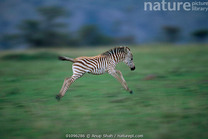 Common zebra foal running {Equus quagga} Masai Mara NR, Kenya, East Africa, NATIONAL,ZEBRAS,ENERGY,JUVENILE,EAST AFRICA,PERISSODACTYLA,LEAPING,MAMMALS,JUMPING,STRIPES,RESERVE,BABY,ACTION,YOUNG,SAVANNA,HORIZONTAL,Africa,Grassland,Equines, Anup Shah