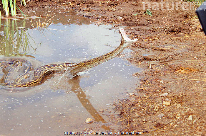 Rock python striking at prey from waterhole {Python sebae} South Africa, ACTION,AFRICA,AGGRESSION,BEHAVIOUR,FANGS,HORIZONTAL,MBE,MOUTHS,PREDATION,REPTILES,SNAKE,SNAKES,SOUTH,SOUTHERN AFRICA,STRIKING,TEETH,WATERHOLE,CONCEPTS, Mike Beynon
