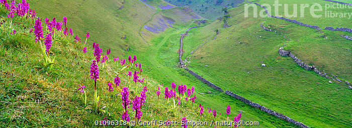Cressbrook Dale with Early purple orchids {Orchis mascula} Peak District NP, Derbyshire, UK, BRITISH,EUROPE,FLOWERS,GRASSLAND,HABITAT,HORIZONTAL,LANDSCAPES,NATIONAL PARK,NP,ORCHIDS,PANORAMIC,PEAK DISTRICT,PLANTS,RESERVE,SPRING,UK,UNITED KINGDOM,VALLEY,ENGLAND, Geoff Scott-Simpson