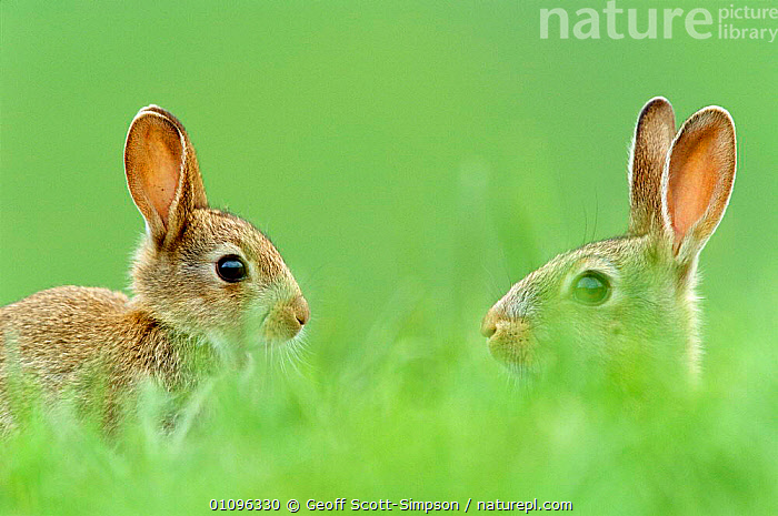 Two young European rabbits {Oryctolagus cuniculus} in grass, Derbyshire, UK, BRITISH,CUTE,EARS,ENGLAND,EUROPE,FARMLAND,GRASS,GSI,HORIZONTAL,LAGOMORPHS,MAMMALS,PLANTS,RABBITS,TWO,UK,UNITED KINGDOM,WILDLIFE,GettyBOV, Geoff Scott-Simpson
