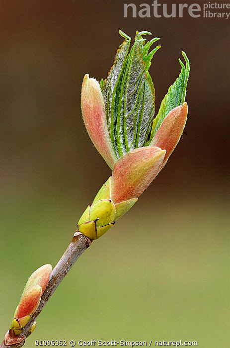 Sycamore leaves breaking from bud {Acer pseudoplatanus} UK, BRITISH,EMERGING,ENGLAND,EUROPE,GROWTH,GSI,LEAVES,PLANTS,SPRING,TREES,UK,VERTICAL,UNITED KINGDOM,CONCEPTS, Geoff Scott-Simpson