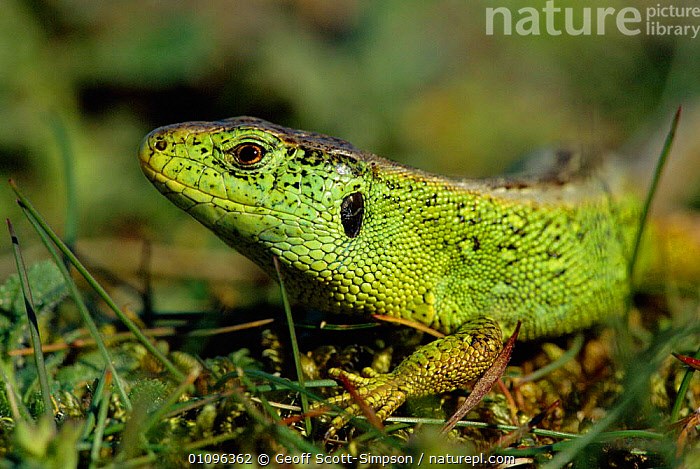 Sand lizard male {Lacerta agilis} Ainsdale NNR, Lancashire, UK, BRITISH,ENGLAND,EUROPE,GREEN,HORIZONTAL,LANCASHIRE,MALES,NP,PORTRAITS,REPTILES,RESERVE,UK,WILDLIFE,UNITED KINGDOM,NATIONAL PARK,LIZARDS, Geoff Scott-Simpson