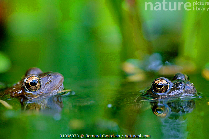 Common frogs in water {Rana temporaria}  Belgium, AMPHIBIANS,BC,EUROPE,HORIZONTAL,OUTSTANDING,PONDS,TWO,WATER,WETLANDS,ANURA,FROGS, Bernard Castelein