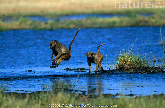 Olive baboons jumping across shallow water {Papio anubis} Moremi Wildlife Reserve, Botswana, ACTION,BABOON,BABOONS,BEHAVIOUR,LAKES,LEAPING,MAMMALS,MONKEYS,MOVEMENT,PRIMATES,RESERVE,SOUTHERN AFRICA,TWO,VERTEBRATES,WATER, Richard Du Toit