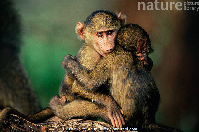 Olive baboon babes hugging one another {Papio anubis} Kenya, East Africa, MAMMALS,HUGS,EAST AFRICA,BABIES,AFFECTIONATE,FACES,CUTE,AFFECTION,BABOONS,JUVENILE,HORIZONTAL,YOUNG,PRIMATES,Africa,concepts,Monkeys,Catalogue1, Anup Shah