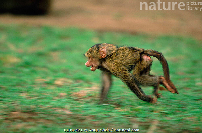 Juvenile Olive baboon running along ground {Papio anubis} Kenya, East Africa, MOVEMENT,HORIZONTAL,BABOONS,ACTION,SPEED,EAST AFRICA,MAMMALS,PRIMATES,YOUNG,Africa,Monkeys, Anup Shah