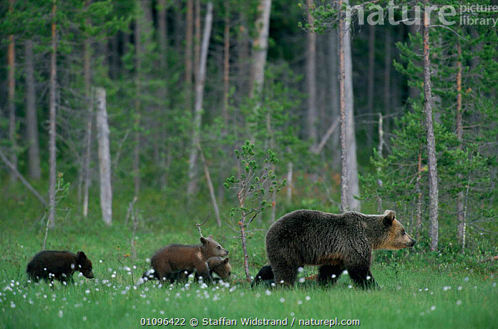 Female European Brown bear with cubs following {Ursus arctos} Lapland Finland., PROFILE,FOREST,CUTE,CARNIVORES,JUVENILE,BABY,BEARS,BABIES,FINLAND,EUROPE,GROUPS,WOODLANDS,YOUNG,MAMMALS,FAMILIES,FEMALES,WALKING,TREES,Scandinavia,Plants, Europe, Europe, Europe,Catalogue1, Staffan Widstrand