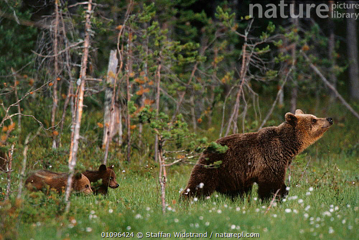 Female European Brown bear with cubs following behind {Ursus arctos} Lapland Finland., BABIES,BABY,BEARS,BOREAL FOREST,CARNIVORES,CUTE,EUROPE,FAMILIES,FEMALES,FINLAND,FOREST,JUVENILE,MAMMALS,PROFILE,TREES,WALKING,WOODLANDS,YOUNG,Scandinavia,Plants, Staffan Widstrand