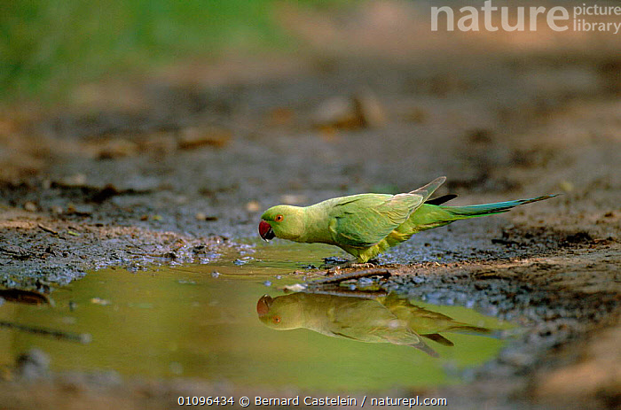 Rose ringed parakeet drinking from puddle {Psittacula krameri} Keoladeo Ghana NP / Bharatphur, India, BIRD,BIRDS,DRINKING,HORIZONTAL,INDIA,INDIAN SUBCONTINENT,KEOLADEO,NP,ONE,PARROTS,RAJASTHAN,RESERVE,ASIA,NATIONAL PARK,,UNESCO World Heritage Site,, Bernard Castelein