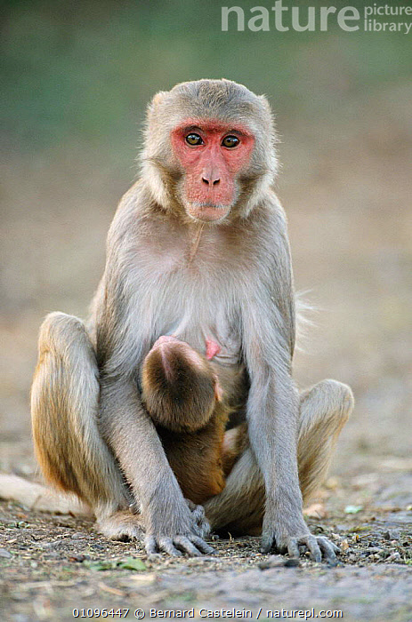 Rhesus macaque suckling baby {Macaca mulatta} Keoladeo Ghana NP, India Rajasthan, BABIES,BABY,BC,FAMILIES,FAMILY,INDIA,INDIAN SUBCONTINENT,MAMMALS,MONKEY,MONKEYS,MOTHER,NP,PARENTING,PRIMATES,RESERVE,SUCKLING,VERTICAL,ASIA,NATIONAL PARK,,UNESCO World Heritage Site,, Bernard Castelein