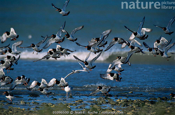 Oystercatchers taking off along shoreline {Haematopus ostralegus} Ile de Re, France, ACTION,BEACHES,BIRDS,COASTAL WATERS,COASTS,EUROPE,FLYING,FRANCE,GROUPS,HORIZONTAL,MARINE,MOVEMENT,OYSTERCATCHERS,SEABIRDS,VERTEBRATES,WADERS,WINGS, Jean E. Roche