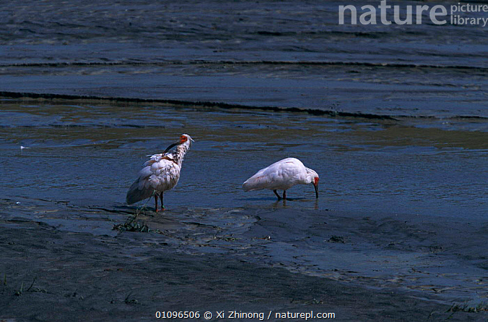 Crested ibis feeding {Nipponia nippon} Shaanxi province, China. Endangered  ,  BIRDS,CHINA,ENDANGERED,FEEDING,GROOMING,HORIZONTAL,TAGGED,TWO,WADERS,WETLANDS,XZ,ASIA  ,  Xi Zhinong