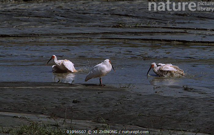 Crested ibis {Nipponia nippon} coming out of water, Shaanxi province, China. Endangered, ASIA,BIRDS,CHINA,ENDANGERED,FEEDING,IBISES,THREE,VERTEBRATES,WADERS,WETLANDS, XI ZHINONG