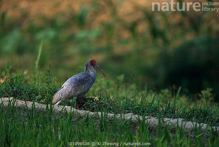 Crested ibis {Nipponia nippon} Shaanxi province, China. Endangered, BIRD,BIRDS,CHINA,ENDANGERED,HORIZONTAL,ONE,PORTRAITS,WADERS,WETLANDS,XZ,ASIA, Xi Zhinong