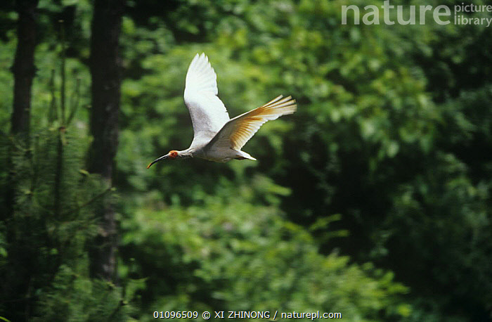 Crested ibis {Nipponia nippon} in flight, Shaanxi province, China. Endangered, ASIA,BIRDS,CHINA,ENDANGERED,FLYING,IBISES,VERTEBRATES,WADERS, XI ZHINONG