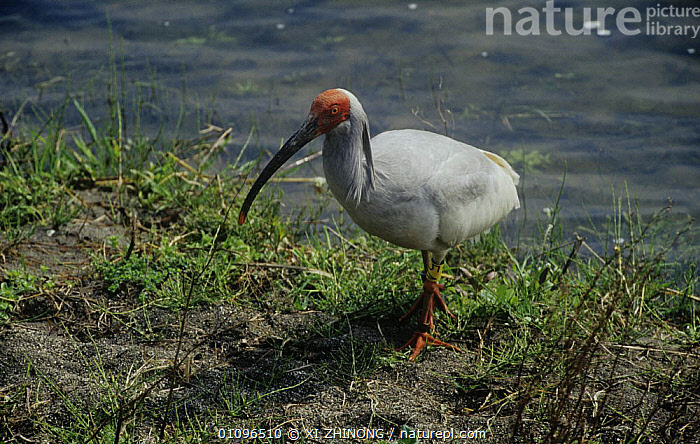 Crested ibis {Nipponia nippon} Shaanxi province, China. Endangered  ,  ASIA,BIRDS,CHINA,ENDANGERED,IBISES,VERTEBRATES,WADERS,WATER,WETLANDS  ,  XI ZHINONG