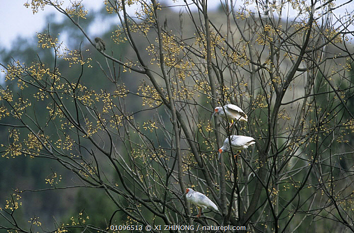 Crested ibis {Nipponia nippon} three perched in tree, Shaanxi province, China, Endangered, ASIA,BIRDS,CHINA,ENDANGERED,IBISES,TREES,VERTEBRATES,WADERS,WETLANDS,PLANTS, XI ZHINONG
