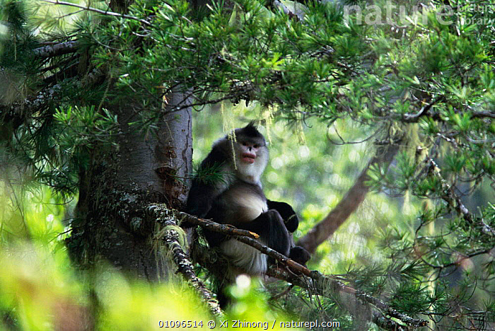 Yunnan snub nosed monkey {Rhinopithecus bieti} Yunnan, China Sub species of Chinese snub-nosed monkey , now considered a separate species. Endangered, CHINA,ENDANGERED,HORIZONTAL,MAMMALS,PRIMATES,TREES,XZ,YUNNAN,ASIA,PLANTS, Xi Zhinong