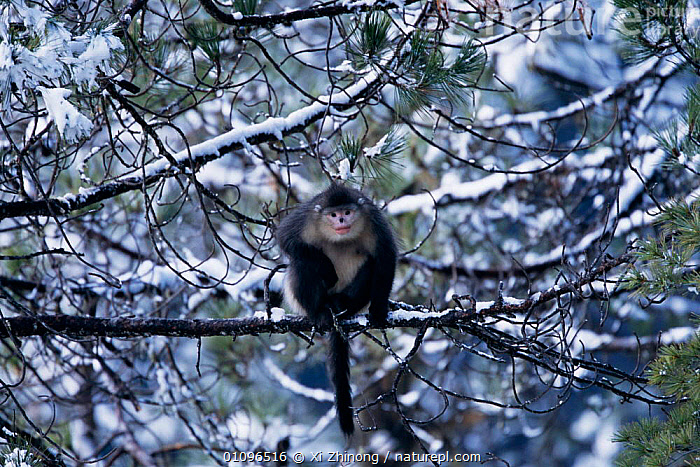 Yunnan snub nosed monkey in tree Yunan, China {Rhinopithecus bieti} Sub-species of Chinese snub-nosed monkey, now considered a separate species. Endangered, CHINA,ENDANGERED,FOREST,HORIZONTAL,MAMMALS,MONTANE,PRIMATES,SNOW,TREES,VERTICAL,WINTER,WOODLAND,XZ,ASIA,PLANTS, Xi Zhinong