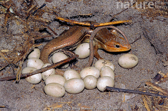 Broad headed skink female with eggs {Eumeces laticeps} Florida, USA, EGGS, HORIZONTAL, LIZARDS, NESTS, REPTILES, FEMALES, SKINKS, USA, VERTEBRATES,North America, Barry Mansell