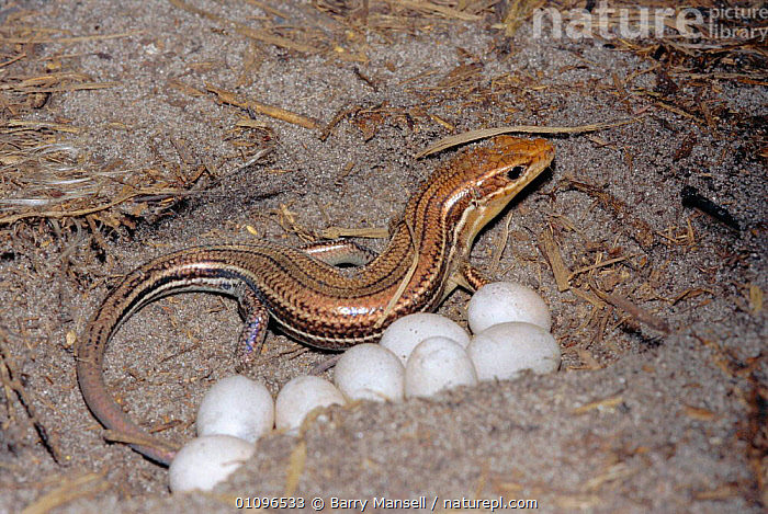 Broad headed skink female with eggs {Eumeces laticeps} Florida, USA, FEMALES, LIZARDS, SKINKS, USA, VERTEBRATES, EGGS, HORIZONTAL, NESTS, REPTILES,North America, Barry Mansell