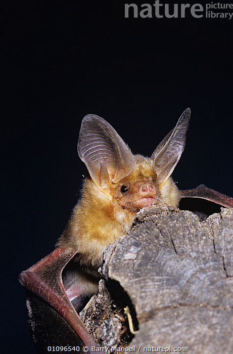 Pallid bat {Antrozous pallidus} Arizona, USA, BATS,CHIROPTERA,DESERTS,EARS,MAMMALS,NIGHT,USA,VERTEBRATES,North America, Barry Mansell
