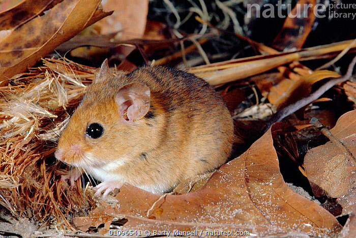 Cotton mouse {Peromyscus gossypinus} Florida, USA, HORIZONTAL, MAMMALS, MICE, rodents, USA, VERTEBRATES,North America, Barry Mansell
