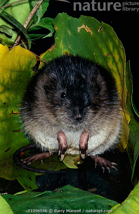 Round tailed muskrat {Neofiber alleni} Florida, USA, BMA,CLAWS,FLORIDA,MAMMALS,PORTRAITS,RODENTS,USA,VERTICAL,WETLANDS,NORTH AMERICA,MURIDAE, Barry Mansell