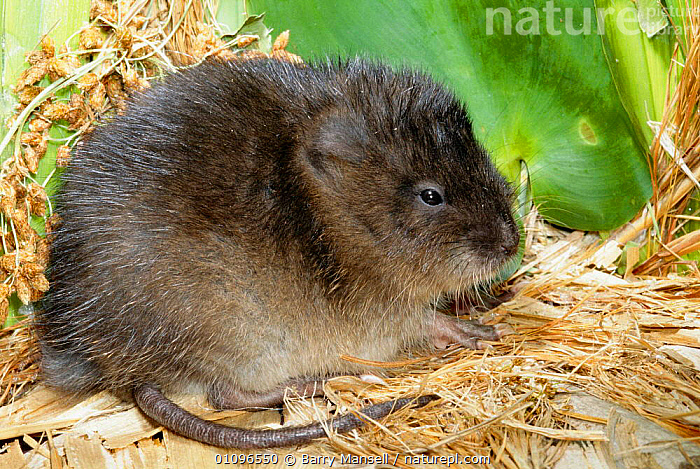 Round tailed muskrat {Neofiber alleni} Florida, USA, BMA,FLORIDA,HORIZONTAL,MAMMALS,NORTH AMERICA,ONE,RODENTS,USA,WETLANDS,MURIDAE, Barry Mansell