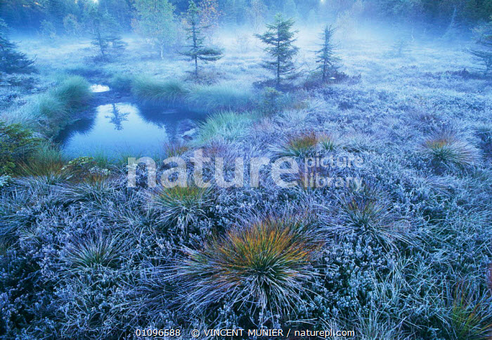 Peat bog landscape on winter morning, Vosges Mountains, France, Europe. Eric Hosking Award winning portfolio in BG Wildife Photo Competition 2002 ERIC_HOSKING 2002, ATMOSPHERIC,BOGS,FROST,HABITAT,HORIZONTAL,ICE,LANDSCAPE,LANDSCAPES,MISTY,MORNING,PLANTS,TREES,VMU,WATER,WEATHER,WETLANDS,WINTER,Europe awards,Europe,Catalogue1, VINCENT MUNIER