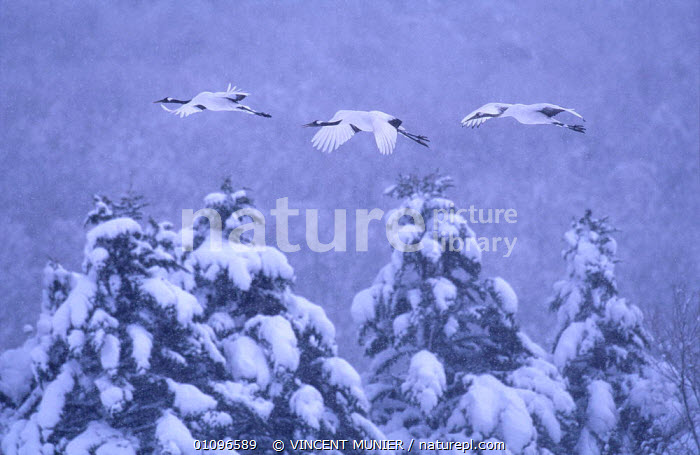 Japanese cranes (Grus japonensis) parents and previous year's chick, flying to roost in snowstorm, Akan NP, Hokkaido, Japan. Eric Hosking Award winning portfolio in BG Wildife Photo Competition 2002, BEAUTIFUL,BIRDS,CHICK,COLD,FAMILIES,FAMILY,FLIGHT,FLYING,GROUPS,HORIZONTAL,JAPAN,NP,OUTSTANDING,PEACEFUL,SNOW,SNOWING,THREATENED,TREES,VMU,VULNERABLE,,WINTER,ASIA,CONCEPTS,PLANTS,NATIONAL PARK awards,National Park,Catalogue1, VINCENT MUNIER