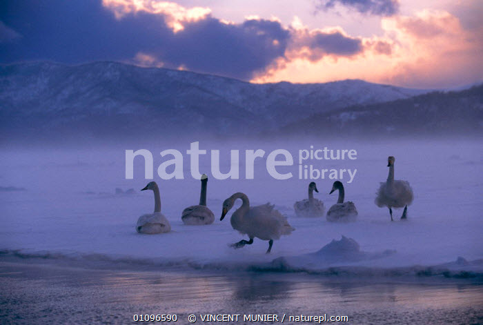 Whooper swans on frozen lake {Cygnus cygnus} Lake Kussharo, Hokkaido, Japan. Highly commented in 'Dawn to Dusk' category of BG Wildlife Photo competition 2002, ATMOSPHERIC,BIRDS,COLD,FROZEN,GROUPS,HORIZONTAL,ICE,LAKES,MISTY,SNOW,VMU,WATER,WATERFOWL,WINTER,WPOY,WILDFOWL, Waterfowl, VINCENT MUNIER